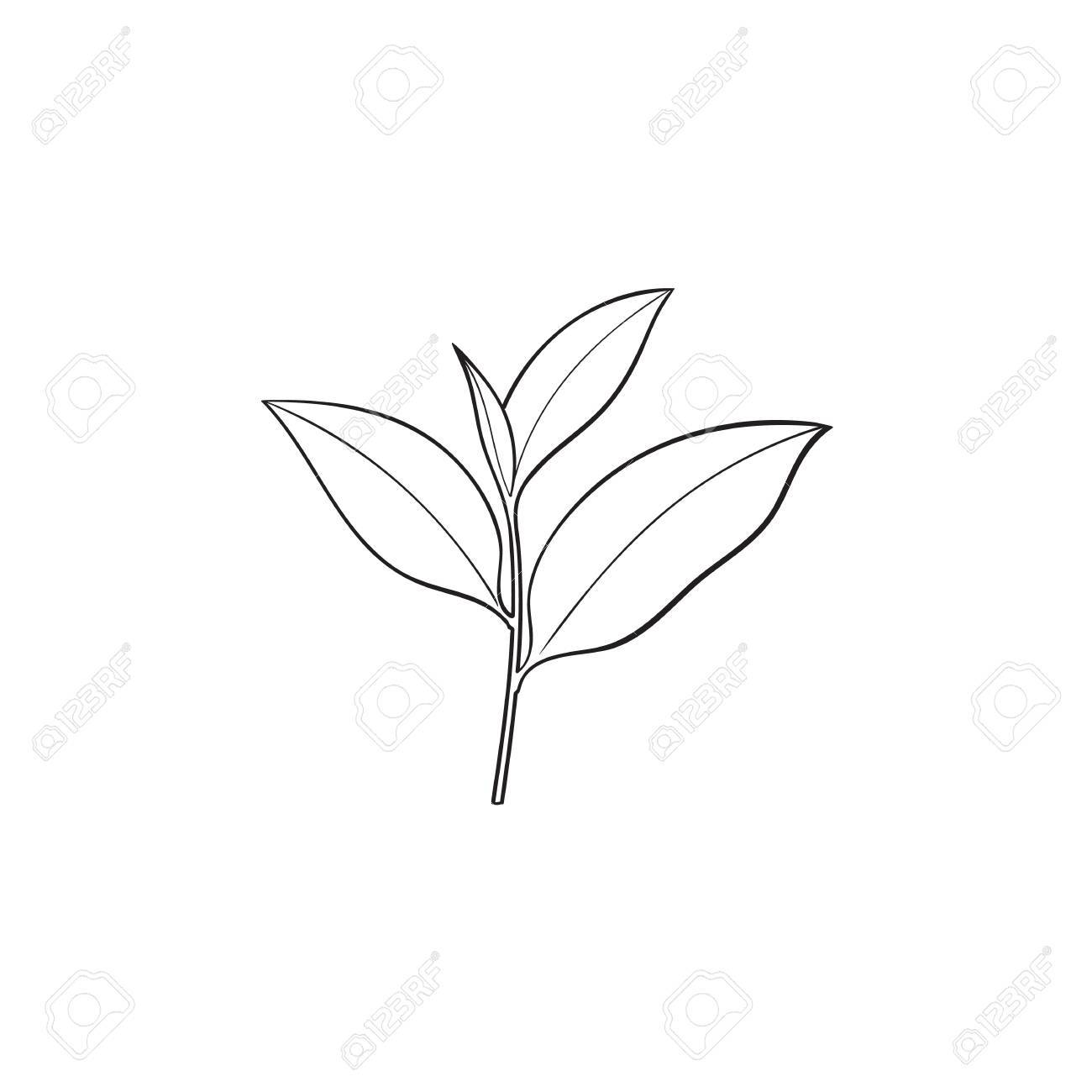 Tea leaves drawing at getdrawings free for personal use tea 1300x1300 vector sketch cartoon style green tea leaves branch isolated thecheapjerseys Image collections