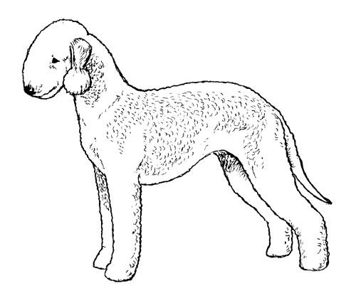 500x426 Breed Standards Bedlington Terrier United Kennel Club (Ukc)