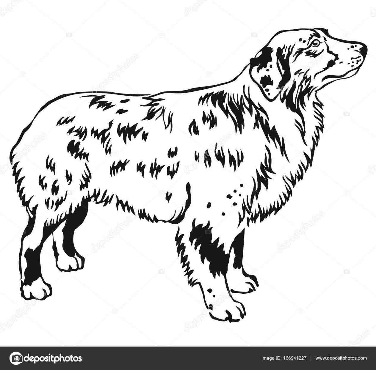 1264x1246 Drawing Coloring Pages Terrier Australian Australian Shepherd Line