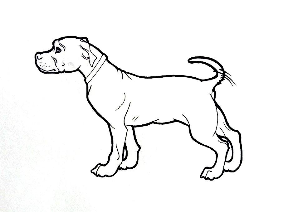 907x680 American Pit Bull Terrier