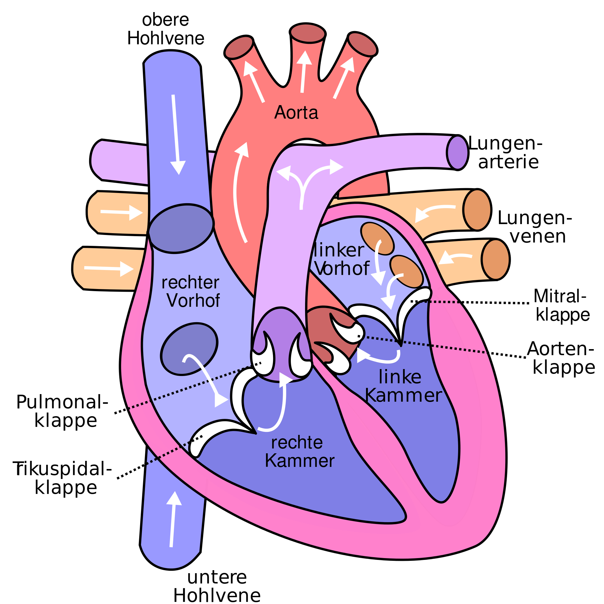 2000x2000 Filediagram Of The Human Heart (Cropped) De V2.svg
