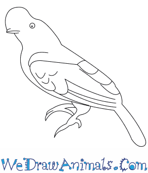 300x350 How To Draw An Andean Cock Of The Rock