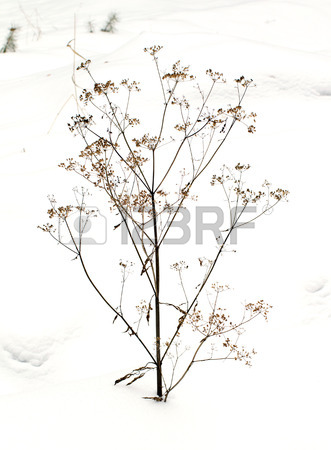 331x450 Thorn Bush In Winter Snow Stock Photo, Picture And Royalty Free