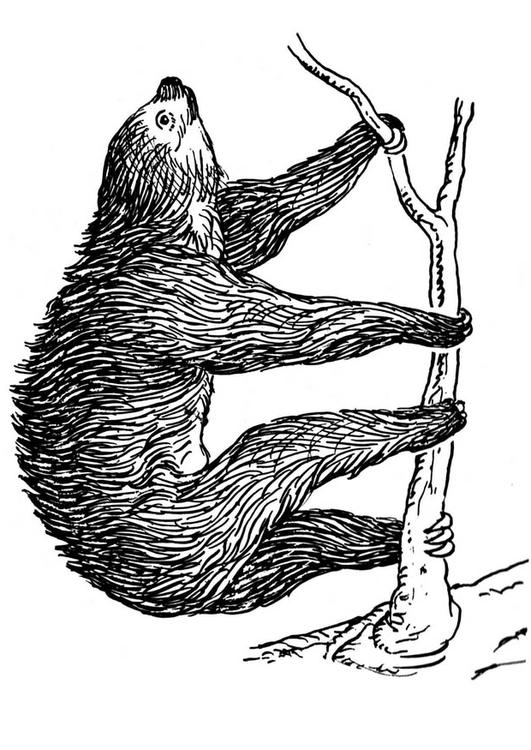 Three Toed Sloth Drawing