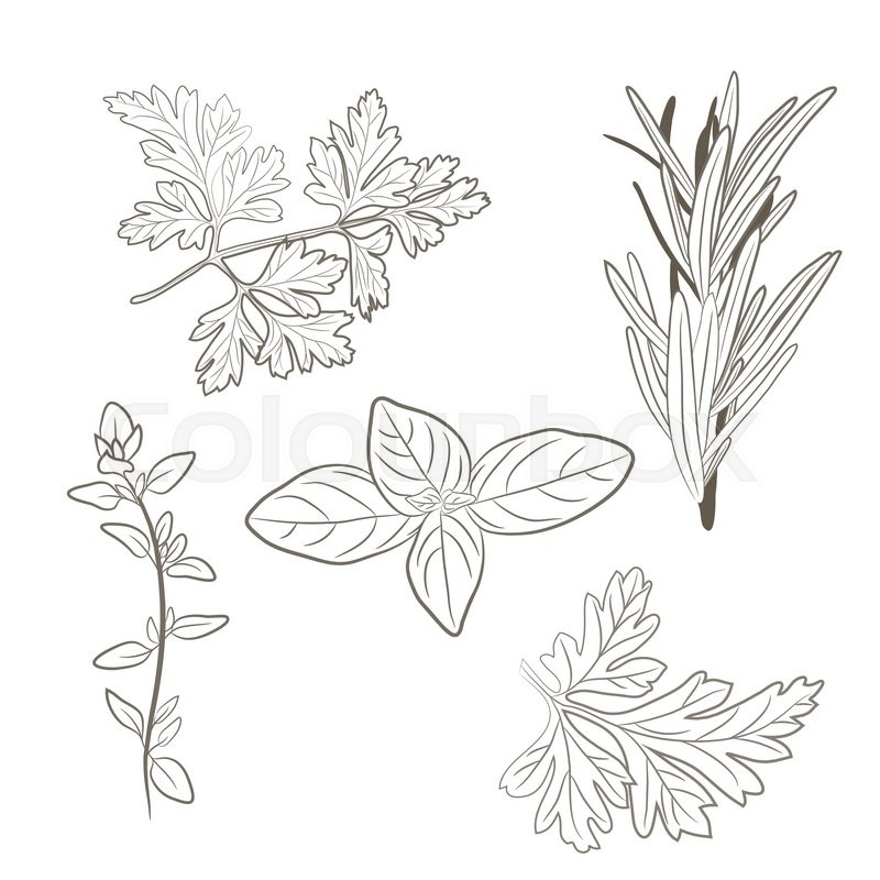 800x800 Vector Fresh Parsley, Thyme, Rosemary, And Basil Herbs. Aromatic