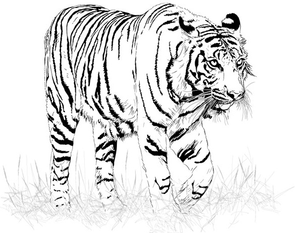Tiger Black And White Drawing At Getdrawings Com