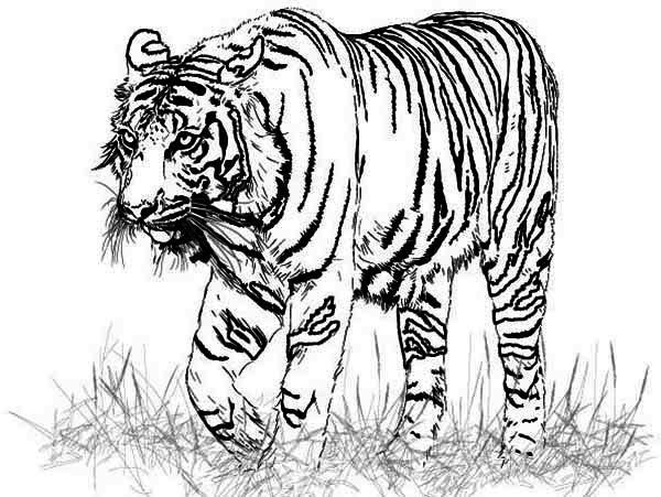 600x451 A Realistic Drawing Of Bengal Tiger Coloring Page