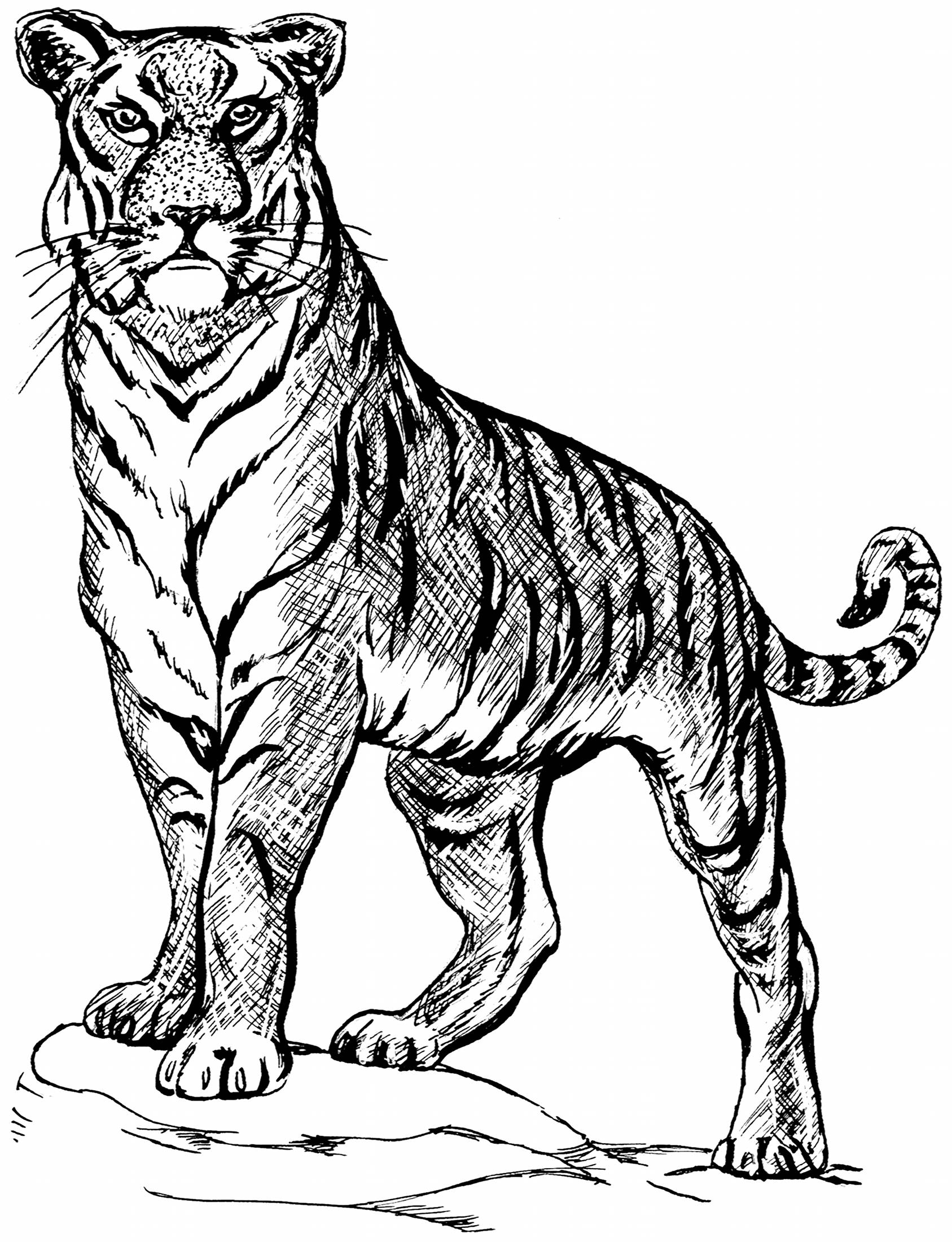 1687x2200 Tiger Line Drawings For Coloring