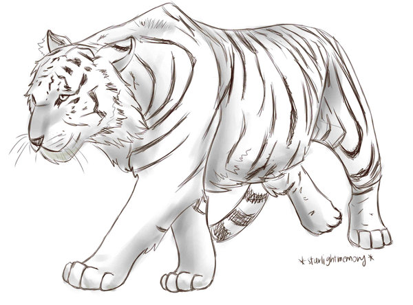 600x444 Tiger Paw Prints Walking Drawing Sketch