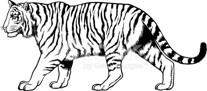 800x353 Drawing Of A Tiger Stock Vector
