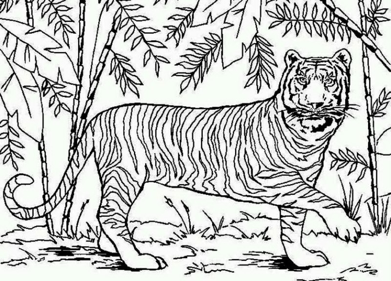 800x574 An Asian Tiger Bamboo Forest Coloring Page An Asian Tiger