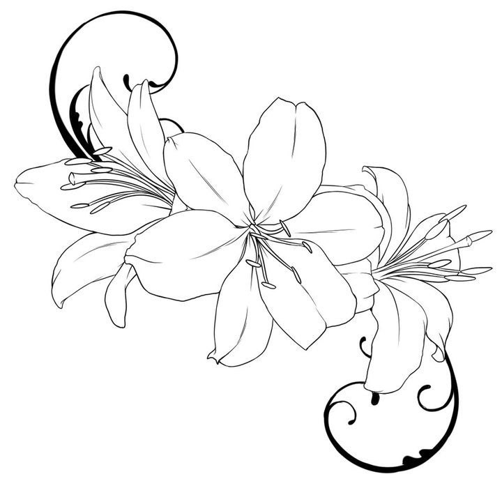 720x690 tiger lily flower drawing outline