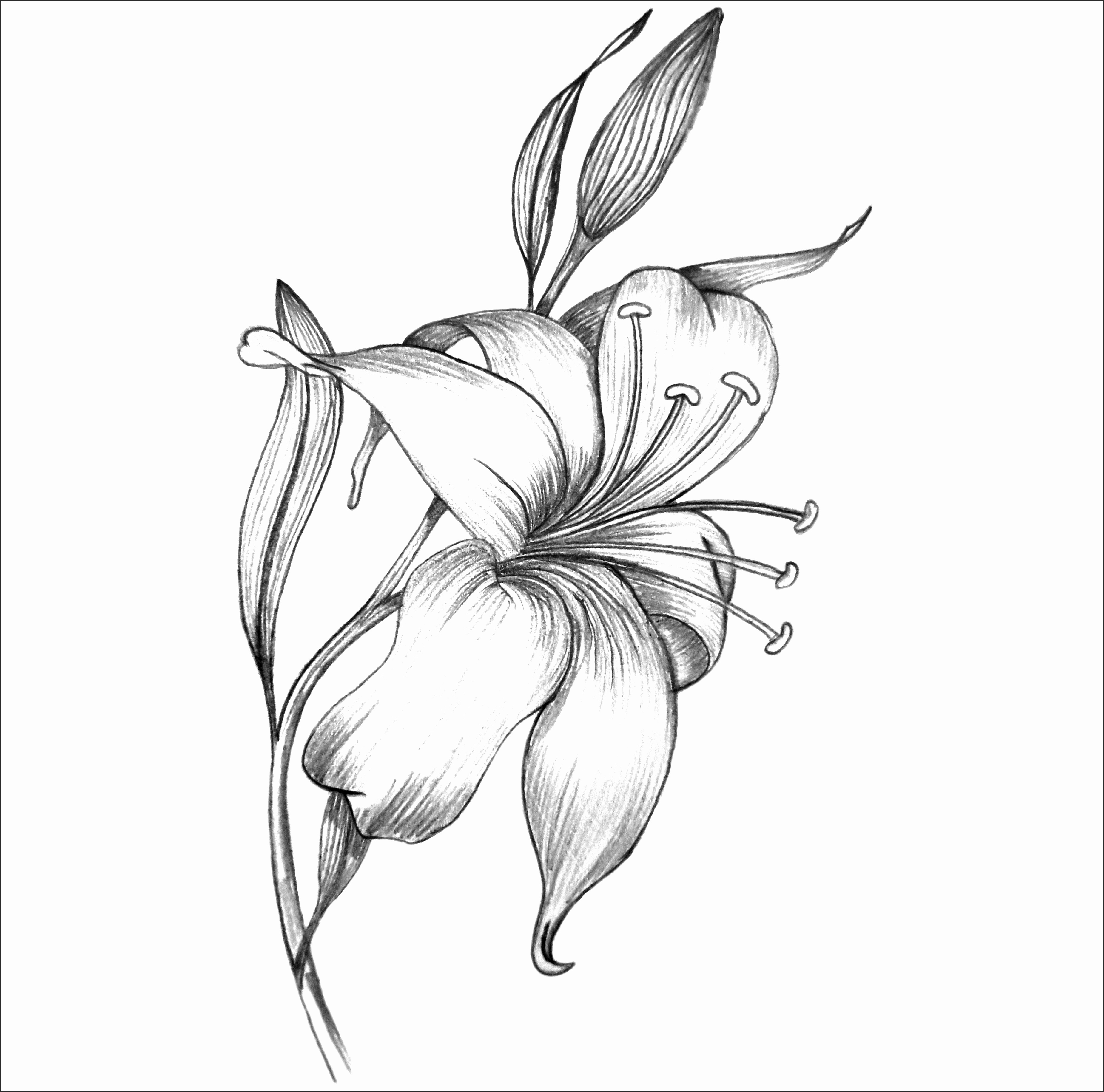 Line Drawing Of Lily Flower : Tiger lily flower drawing at getdrawings free for