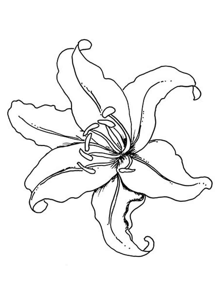 Tiger Lily Flower Drawing at GetDrawings
