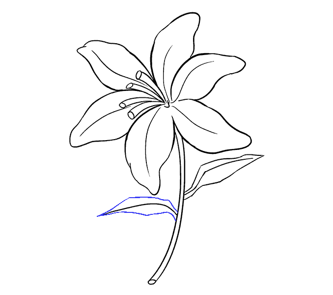 678x600 How To Draw A Lily Flower Youtube. How To Draw A Lily Flower Step