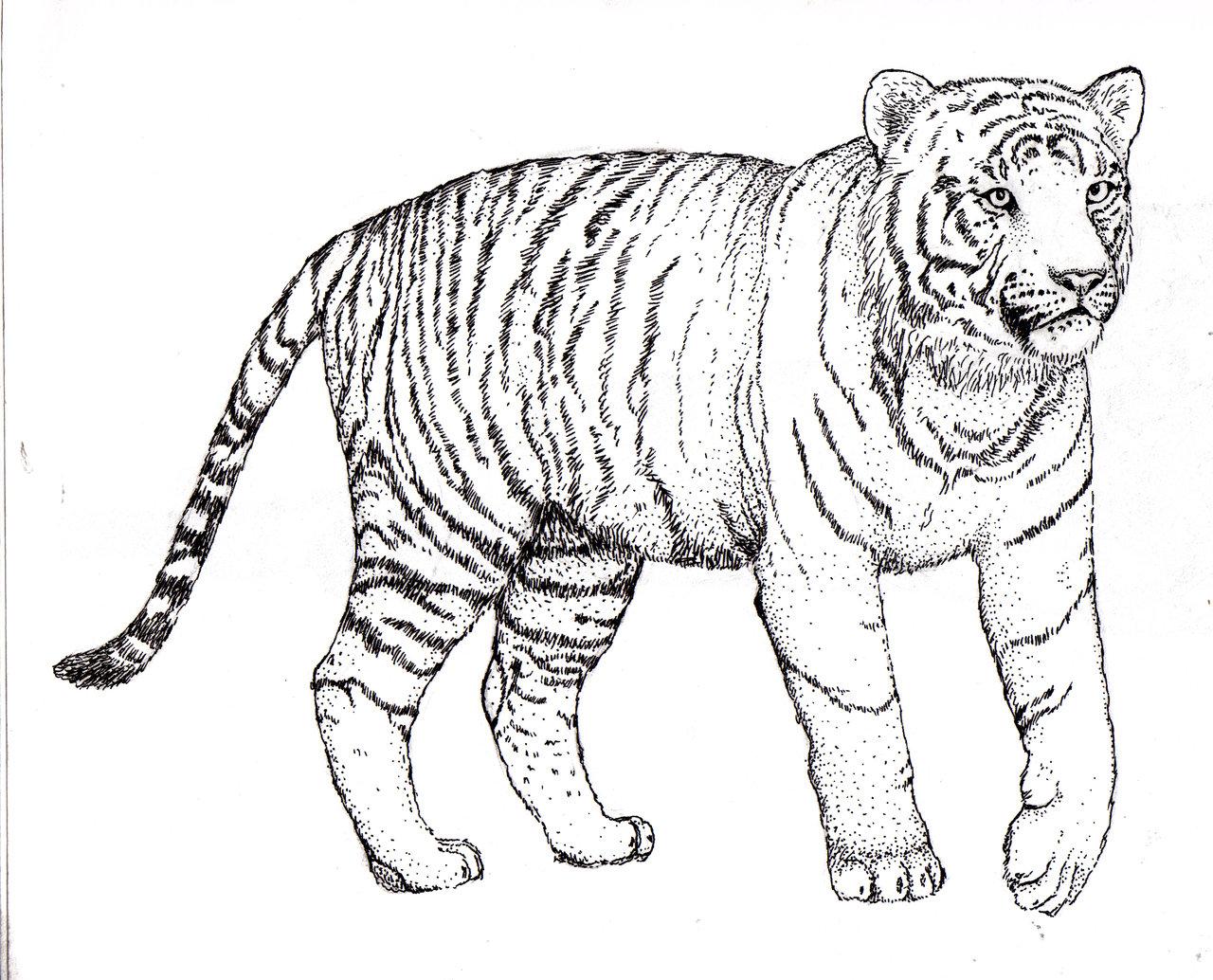 1280x1034 Tiger, Tiger, Burning Bright By Rebeccannoying On DeviantArt