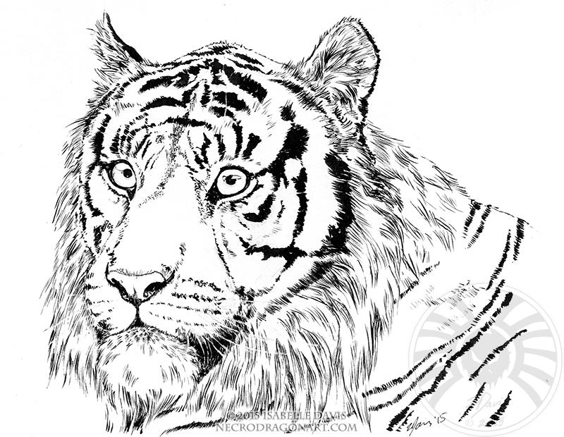 800x620 Tiger