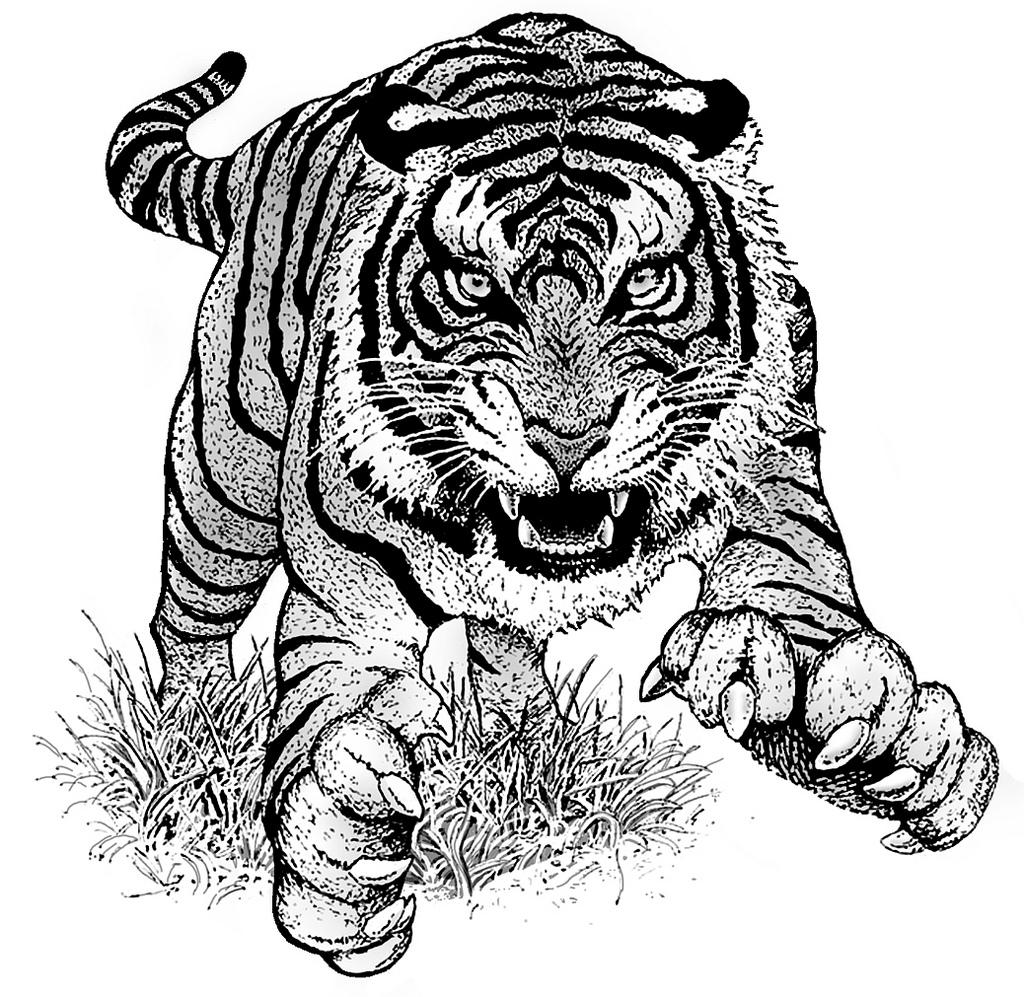 1024x997 Tiger Illustration Pen And Ink Illustration Andrew Padon