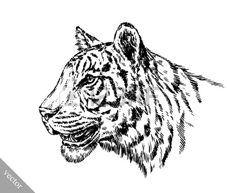 450x383 Black And White Engrave Ink Draw Tiger Vector Illustration Royalty