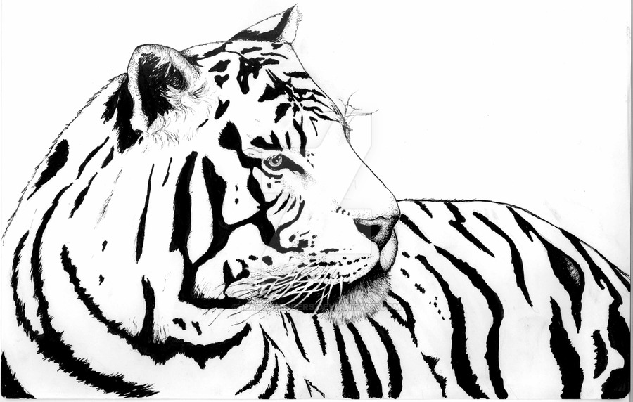 900x572 White Tiger By Magic Fingers