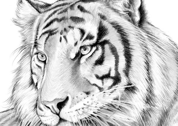 600x425 tiger pencil sketches tiger in pencil greg joens artwanted