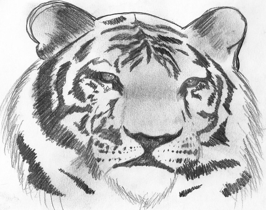 900x712 tiger pencil drawing by photogenius123 on deviantart