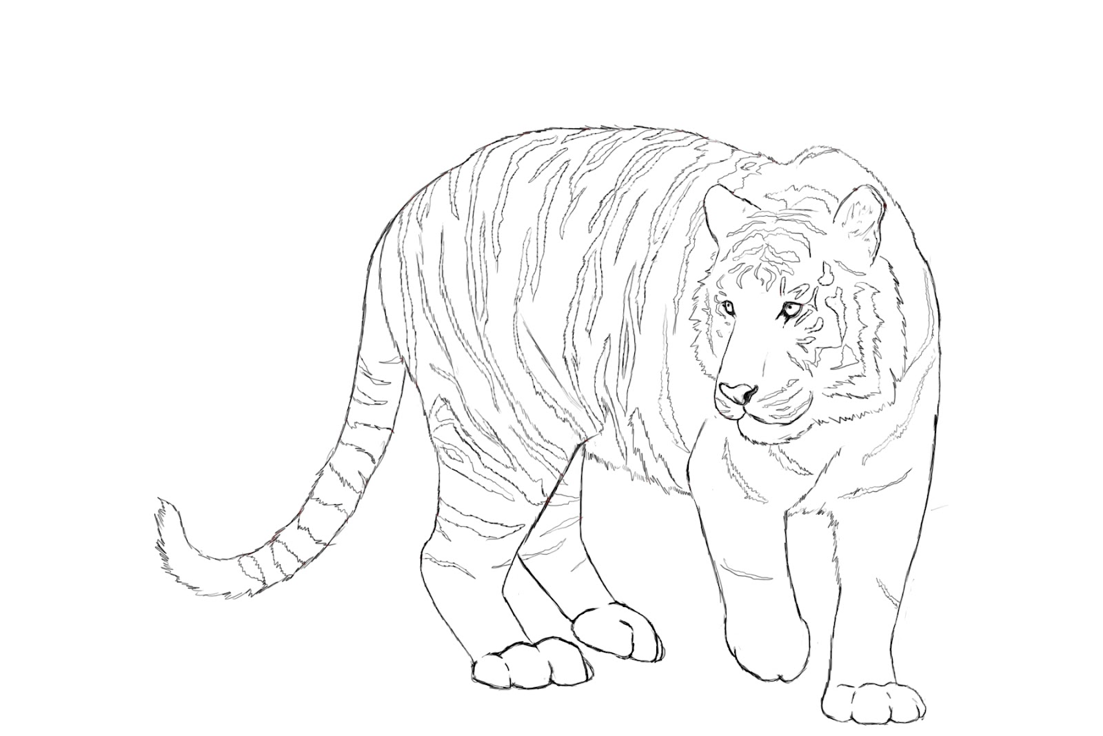 1600x1067 How To Draw A Tiger Tiger Drawing, Tigers And Drawings