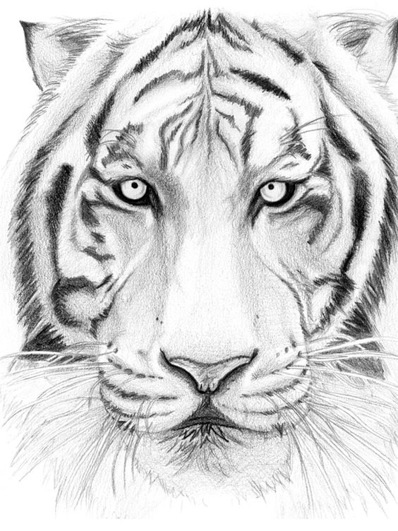 564x752 How To Draw A Tiger Face Step By Step