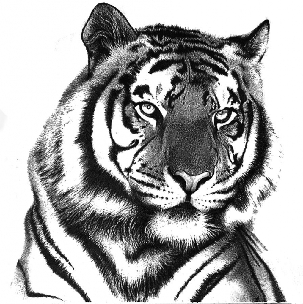 1019x1024 Pencil Drawings Of Tigers