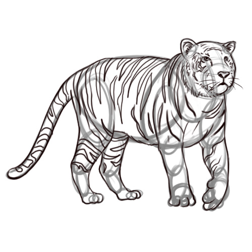 500x500 Pencil Sketches And Drawings How To Draw A Tiger