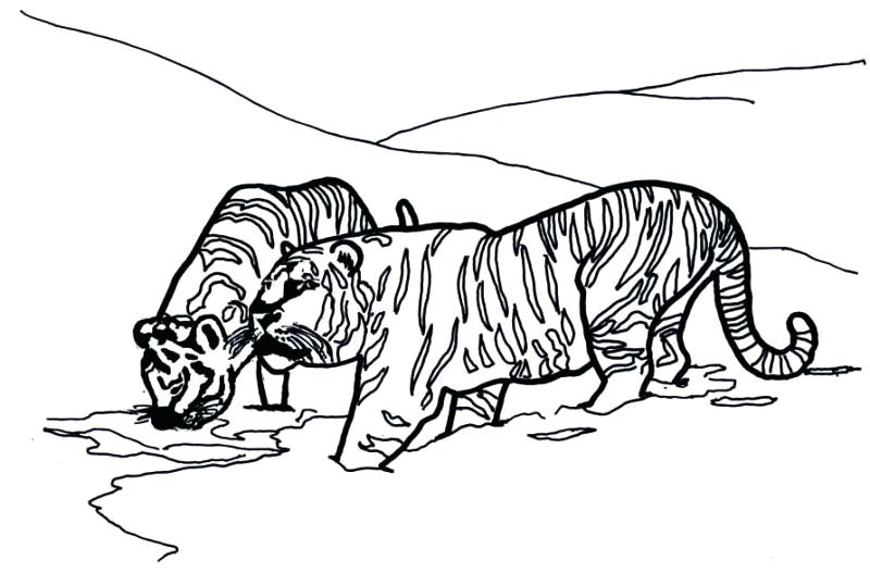 800x538 Siberian Tiger Coloring Page Tiger Template Drawing Siberian Tiger