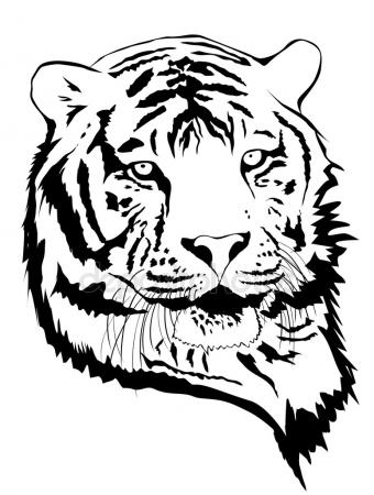 340x450 Tiger Drawing Stock Photo Arztsamui