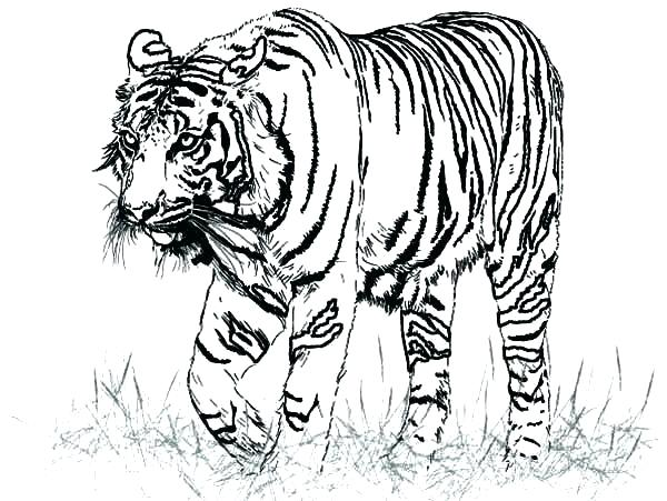 600x451 Tiger Pictures To Color Interconnect.site
