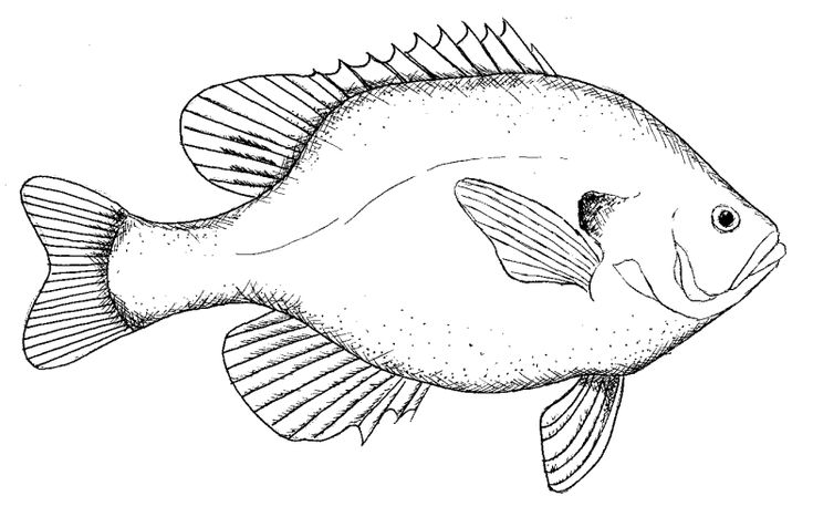 Tilapia Drawing