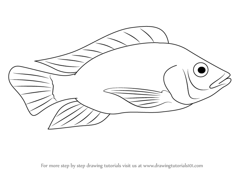 800x566 Learn How To Draw A Tilapia (Fishes) Step By Step Drawing