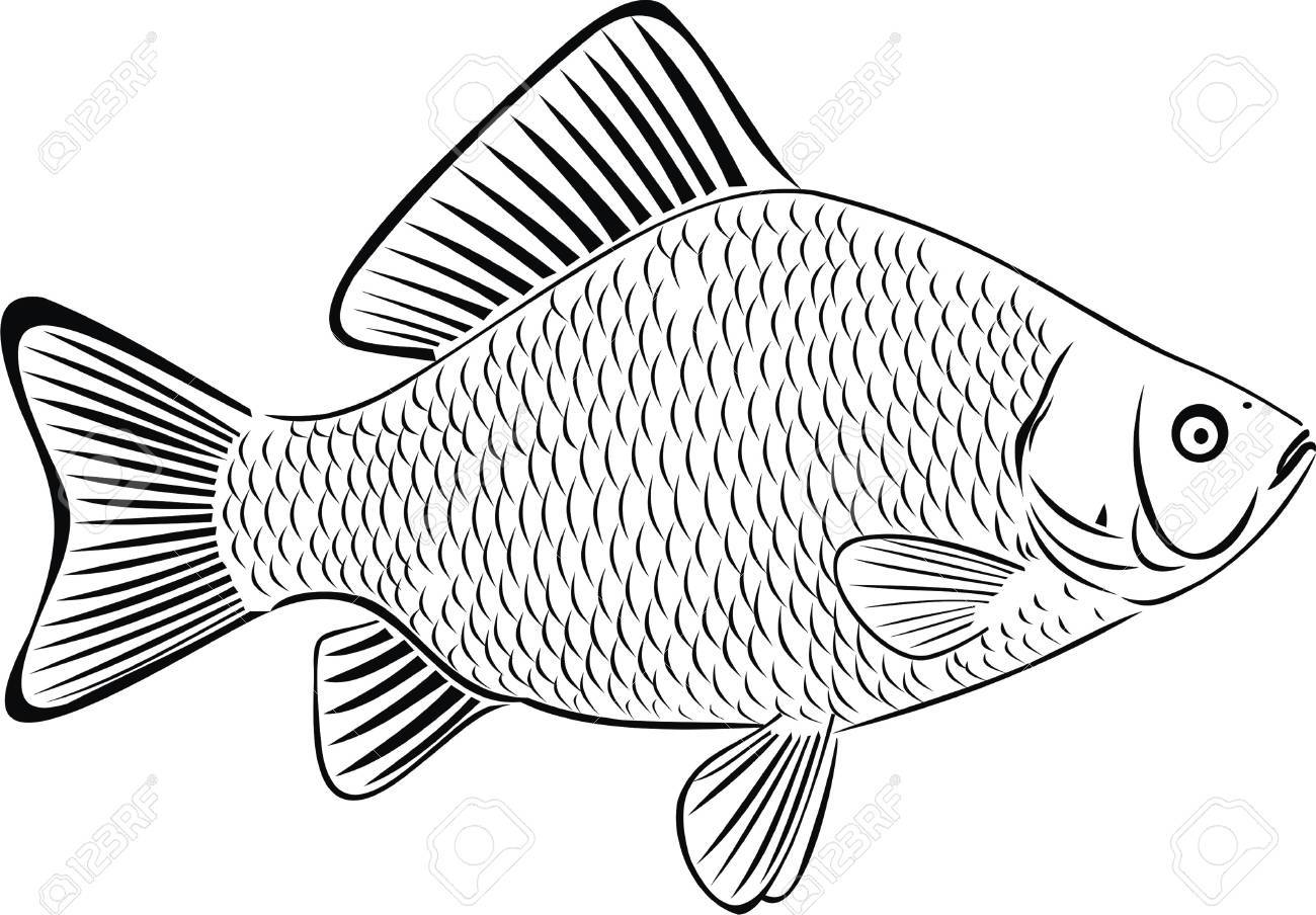 1300x904 Crucian Royalty Free Cliparts, Vectors, And Stock Illustration