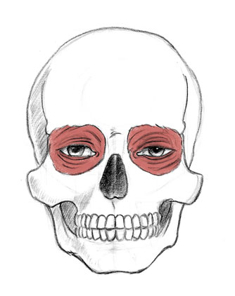 334x422 Sonjebasaland Anatomy