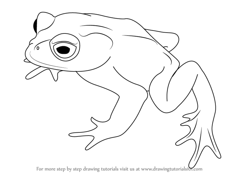 800x566 Learn How To Draw A Golden Toad (Amphibians) Step By Step