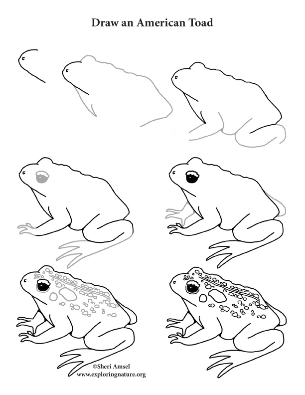 612x792 Toad (American) Drawing Lesson