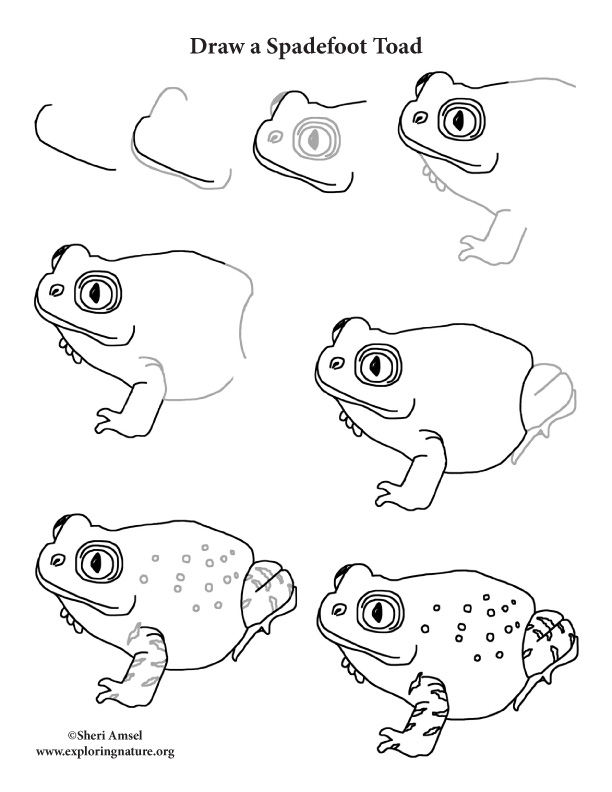 612x792 Toad (Spadefoot) Drawing Lesson
