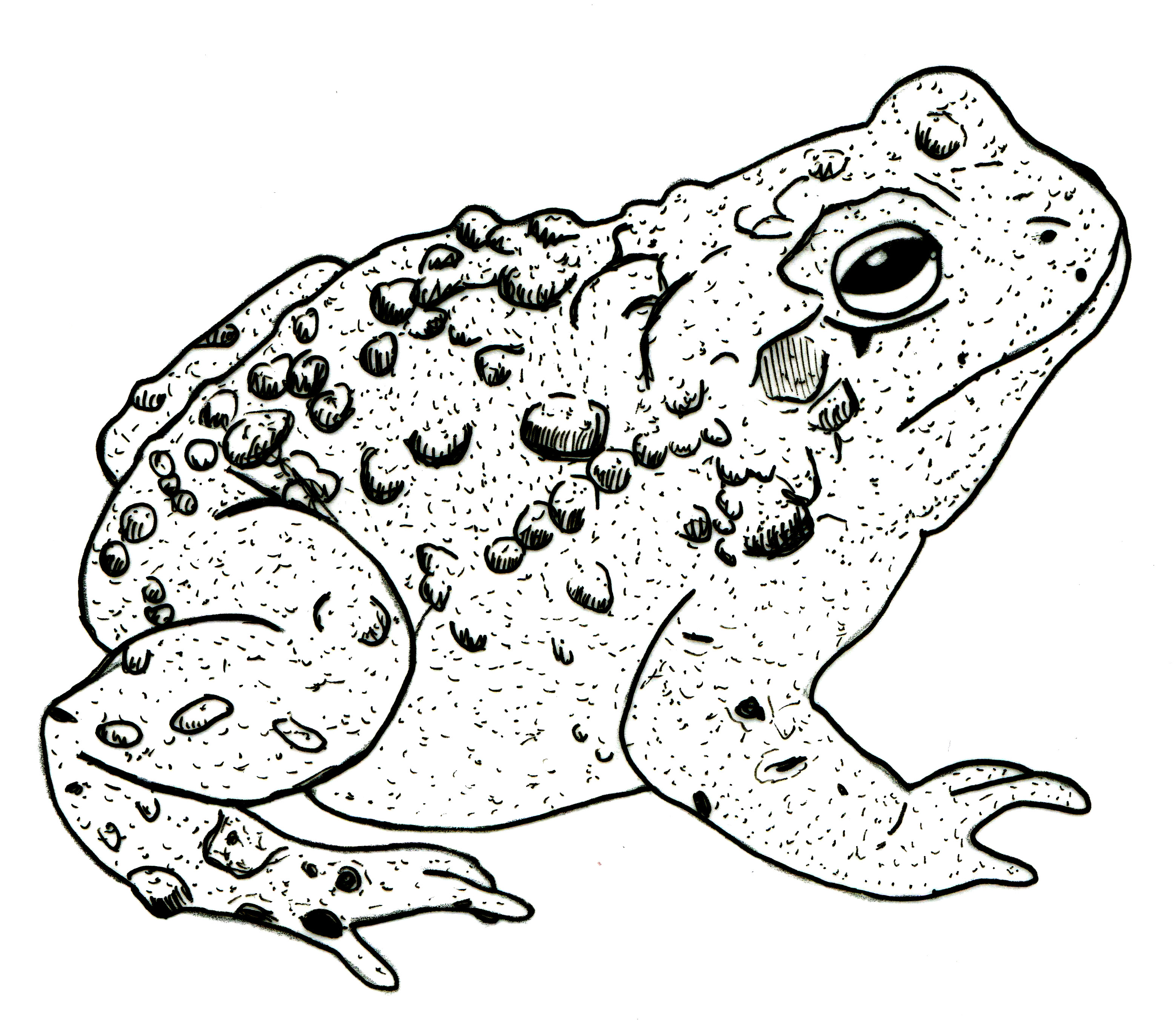3118x2741 Detailed Drawing Of A Toad Tattoos Toad