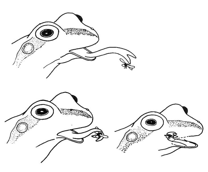 730x602 Frog Catching Fly. Biological Drawings. Characteristics