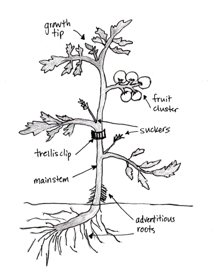tomato plant drawing at getdrawings com