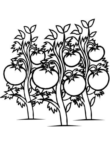 Tomato Plant Drawing
