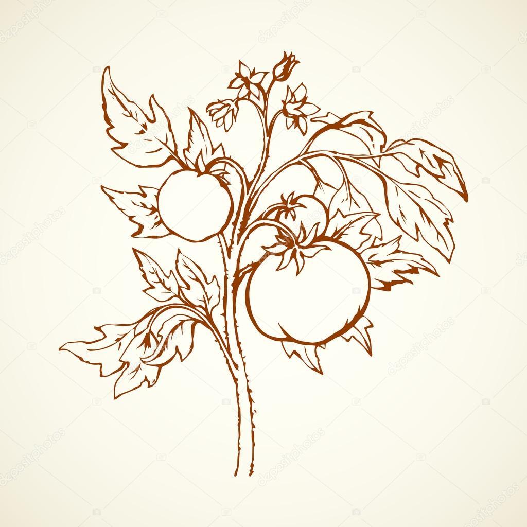 1024x1024 Tomatoes. Vector Drawing Stock Vector Marinka