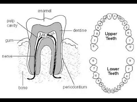 Tiger Teeth Diagram Diy Wiring Diagrams