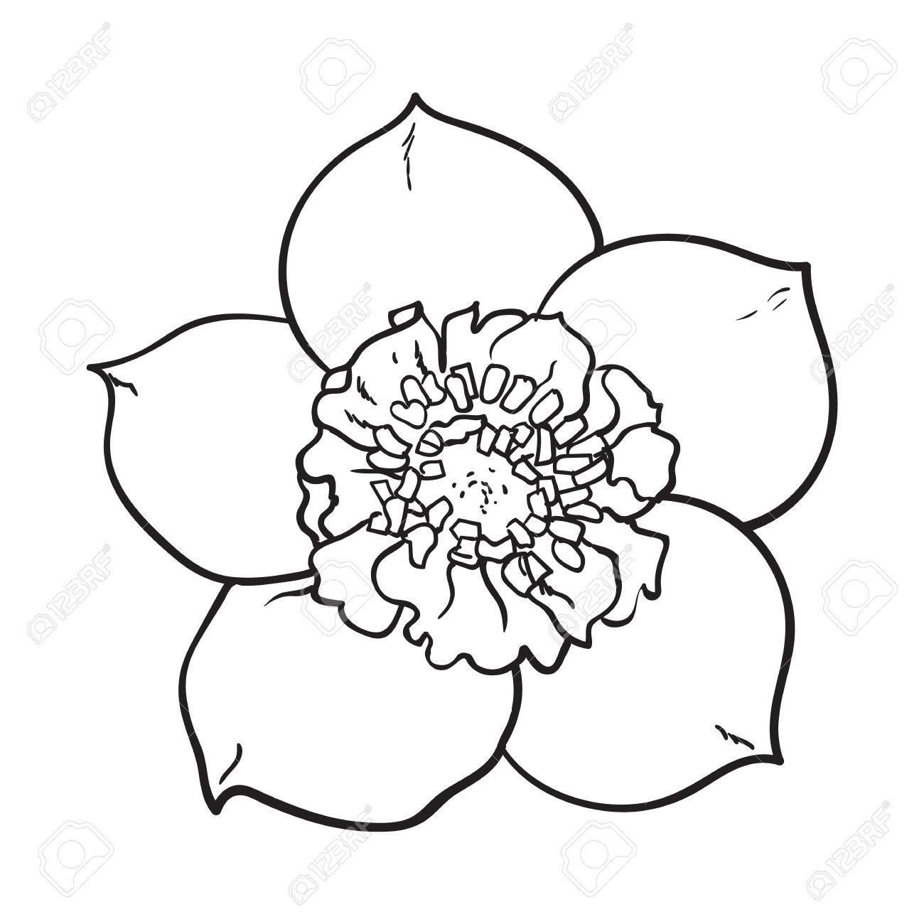 1300x1300 Hellebore, Christmas Rose Single Flower, Top View, Sketch Style