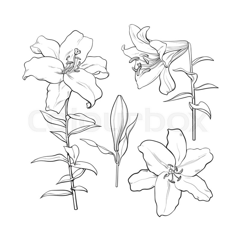 800x800 Set Of Hand Drawn White Lily Flowers In Side And Top View, Sketch