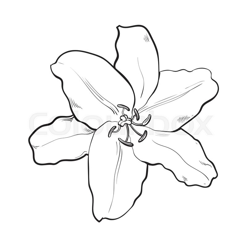 800x800 Single Hand Drawn White Lily Flower, Top View, Sketch Style Vector