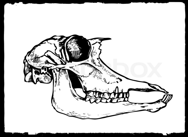 800x585 Vector Drawing Skull On White Paper Stock Vector Colourbox